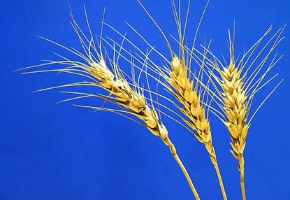 Wheat crop in Vidarbha, India. (Photo: Flickr user 'Frozen Photon')
