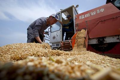 Farmers at work during the wheat harvest in rural Jiaozhou, eastern China
