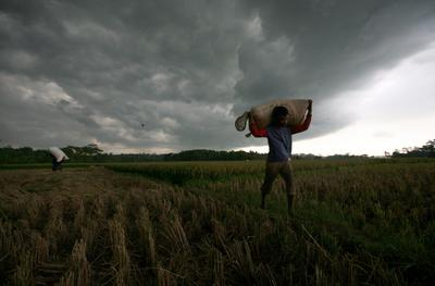 An Indonesian farmer carries a sack of rice crop at a paddy fields in Kerawang, Indonesia, 26 January 2011. (Photo: AAP)