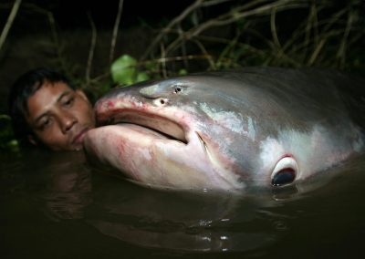 A Mekong giant catfish in the Tonle Sap Lake, Cambodia, 14 November 2007.  The Mekong giant catfish, Pangasianodon gigas or pla buek (huge fish) in Thai, can grow up to three metres long and weigh up to 300 kilograms. (Photo: AAP)