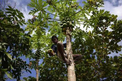 A local boy picks papayas from a tree in Pango village near Port Vila, Vanuatu Thursday, July 24, 2014.  (Photo:AAP).