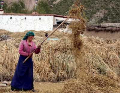 A Tibetan woman treshes the barley during harvest time in Mozhugongka county in suburb Lhasa in Tibet, Friday, 21 October 2005. (Photo: AAP)