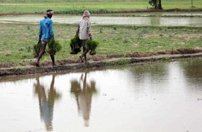 Indian workers carry paddy seedlings for planting in a field at village Verka near Amritsar, India, 06 July 2015. (Photo: AAP)