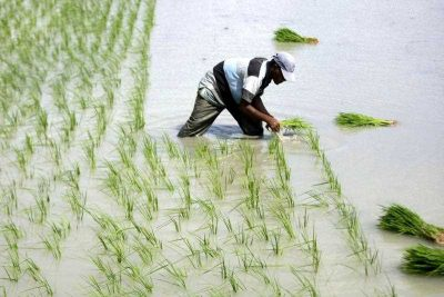 An Acehnesee farmer plants the rice crop on the rice field in a traditional way by hand in Aceh, Indonesia, 08 December 2015. (Photo: AAP)