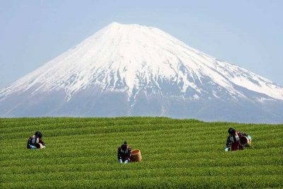 Japanese farmers picking tea leaves under the summit of Mount Fuji, in Shizuoka province, Japan. (Photo: AAP)