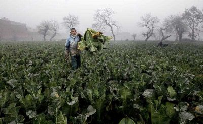 A farmer collects cauliflower harvested from a field on the outskirts of Peshawar, Pakistan, 24 January 2016. (Photo: AAP).