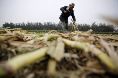 A farmer works in a corn field where a harvester is used to reap corn at a farm in Gaocheng, Hebei province, China. (Photo: Reuters/Kim Kyung-Hoon).