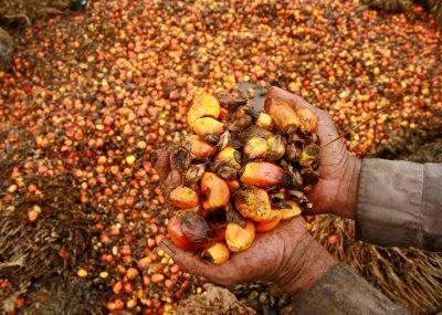 A worker shows palm oil fruits at palm oil plantation in Topoyo village in Mamuju, Sulawesi Island, Indonesia, 25 March 2017 (Photo: Antara Foto/Akbar Tado/via Reuters).