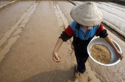 A farmer throws seeds to plant on a rice paddy field in Ngoc Nu village, south of Hanoi, January 2015 (Photo: Reuters/Kham).