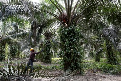 A worker collects palm oil fruits at a plantation in Bahau, Negeri Sembilan, Malaysia, 30 January 2019 (Photo: Reuters/Lai Seng Sin).