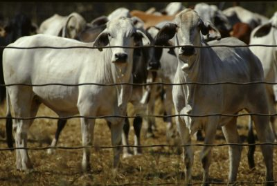 Cattle wait in a pen at a cattle export park in Noonamah, about 50 km south of Darwin, Australia (Photo: Reuters / Tim Wimborne).