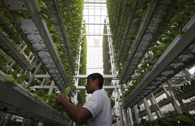 A worker harvests fresh produce from a tower at Sky Greens vertical farm in Singapore, 30 July 2014 (Photo: Reuters/Edgar Su)
